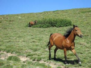 Half-wild horses roam the green hills around Lac de Nino.