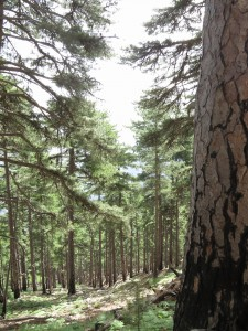 The mighty pine tree forest on the way down. The last day on the GR20.