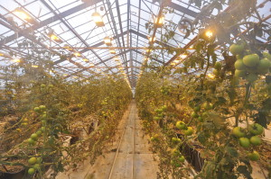Yes, there grow tomatoes in Iceland. Hot water heats greenhouses as well.