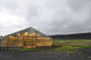 Cold and barren outside, warm glow inside: A greenhouse in Hveragerdi.