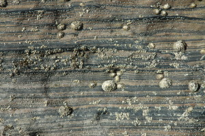 Art by nature: Thin interbedded sand and shale at Brora, decorated with more recent, round barnacles.